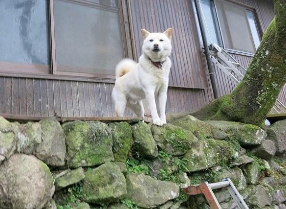8おとうさん犬
