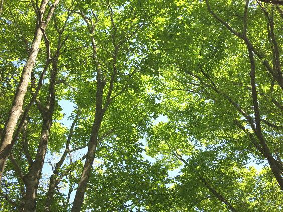 松の木新緑