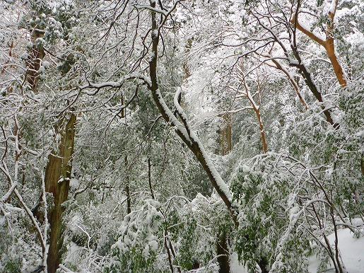降雪直後の森
