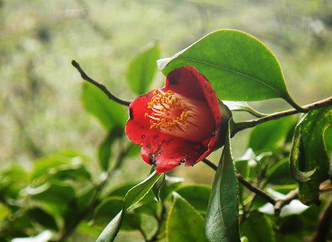 リンゴツバキの花