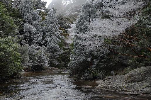永田歩道 標高1500m付近 霧氷