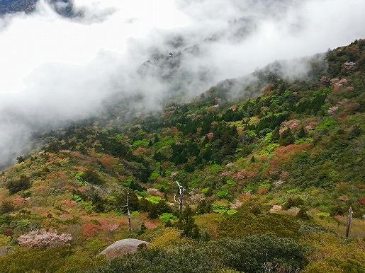 太鼓岩から望む山桜と新緑2