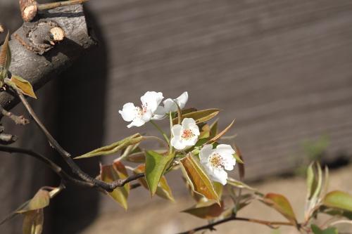 2015_梨の花