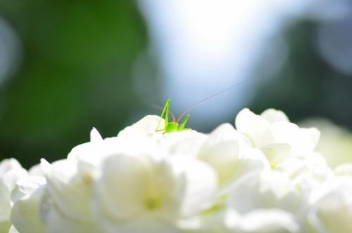 9紫陽花15.07.03
