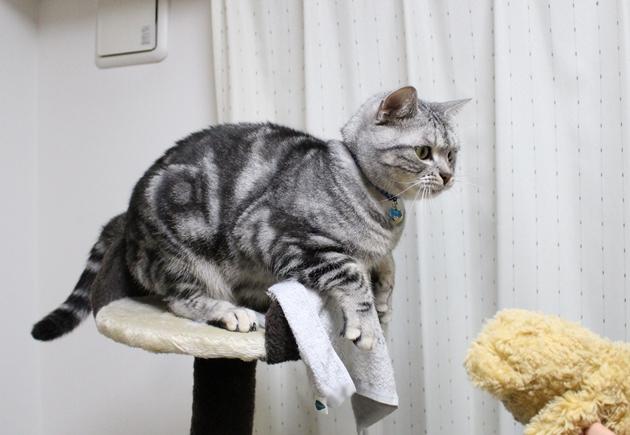 ぬいぐるみがほしい猫