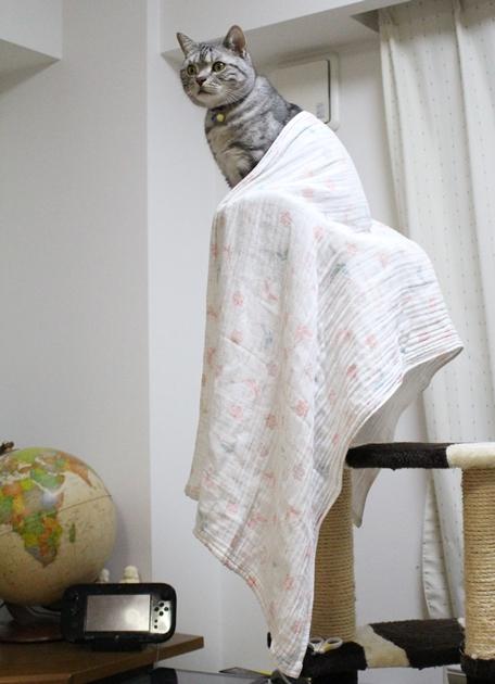 オナガドリ風の猫