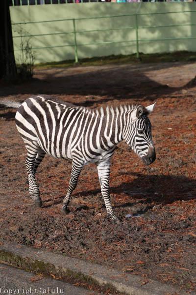 動物写真 グラントシマウマ