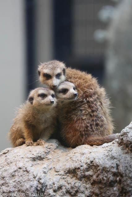 ミーアキャット 動物写真
