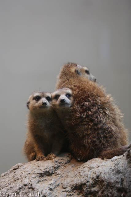 ミーアキャット 猛獣館299 日本平動物園