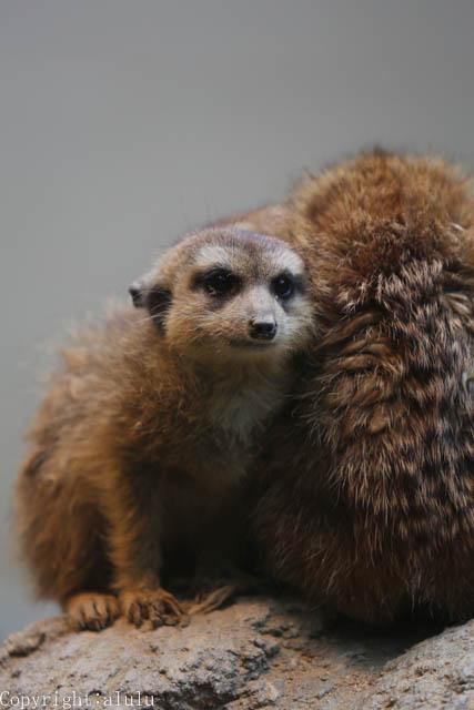 ミーアキャット 日本平動物園