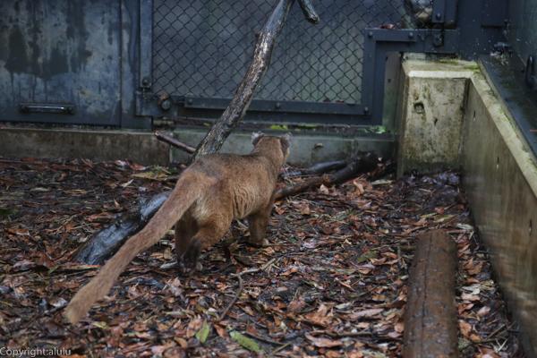 フォッサ 上野動物園