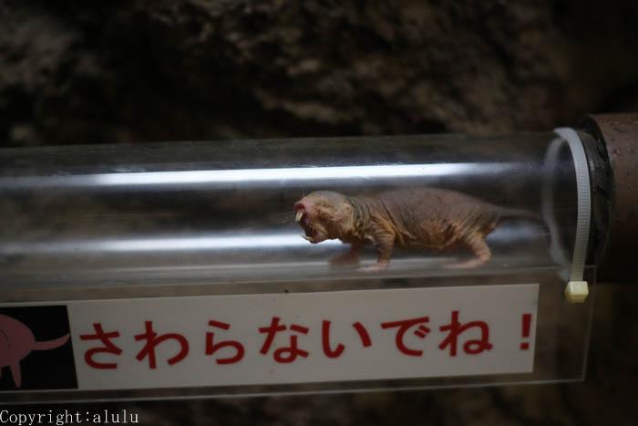 上野動物園 ハダカデバネズミ