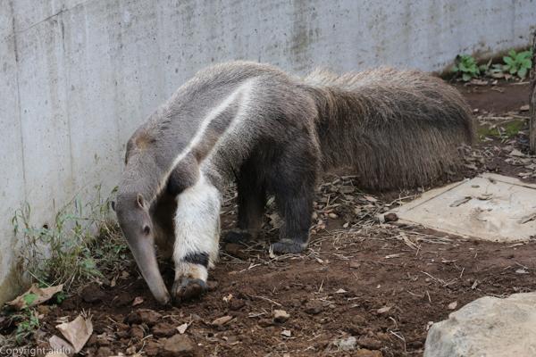 オオアリクイ 江戸川区自然動物園