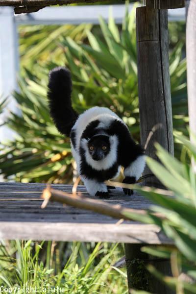 エリマキキツネザル 動物写真