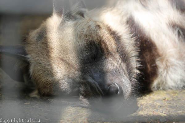 シマハイエナ 動物園