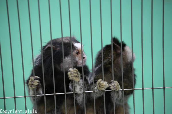 動物園 クロミミマーモセット