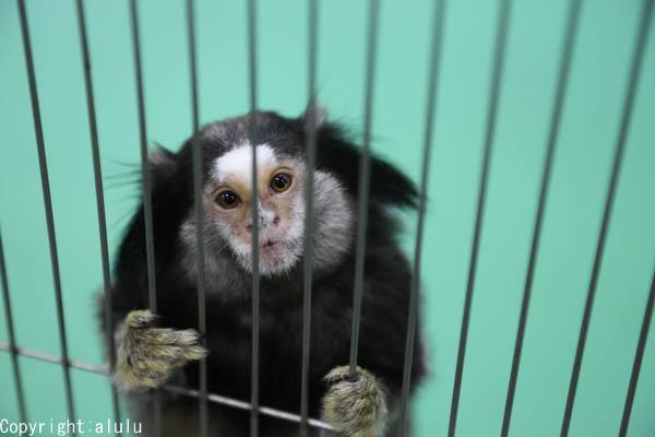 クロミミマーモセット 動物写真
