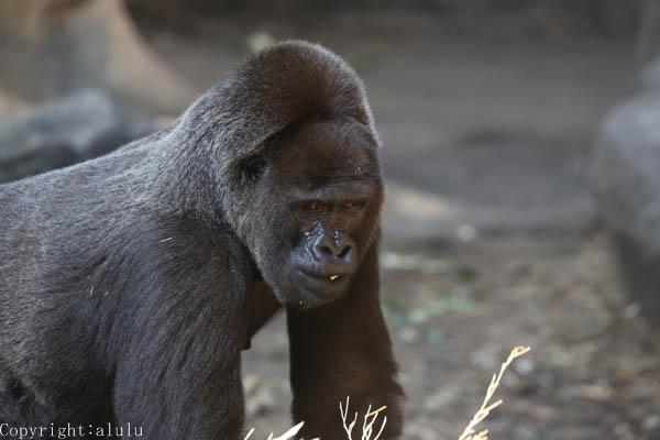 動物写真 ゴリラ