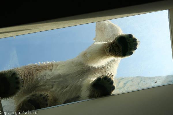 動物写真 ホッキョクグマ