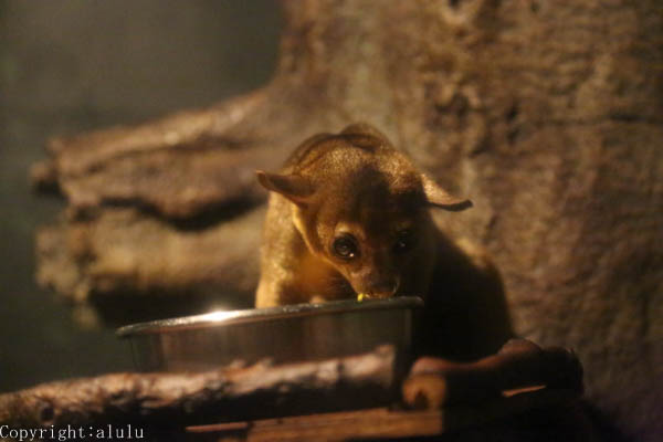 東山動物園 キンカジュー
