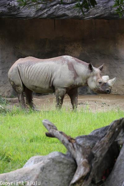 クロサイ 天王寺動物園