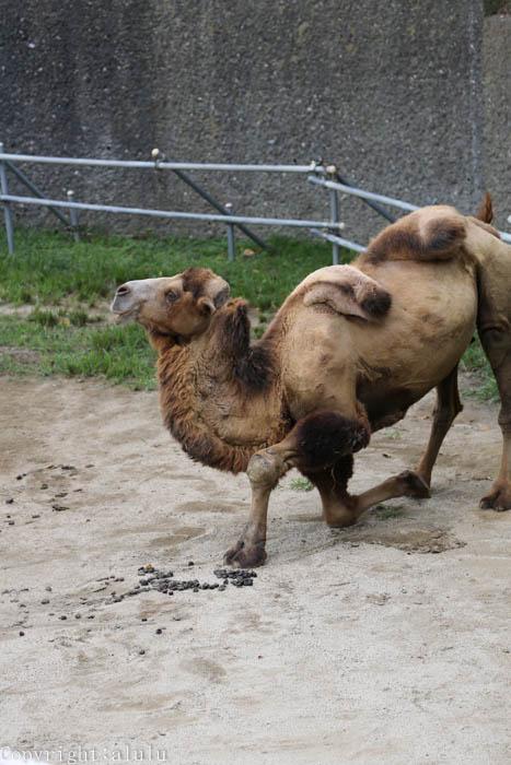 フタコブラクダ 天王寺動物園