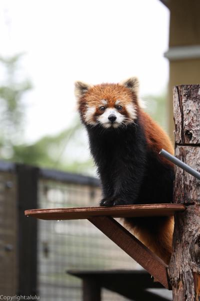 レッサーパンダ 旭山動物園