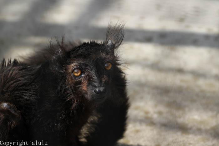動物写真 クロキツネザル