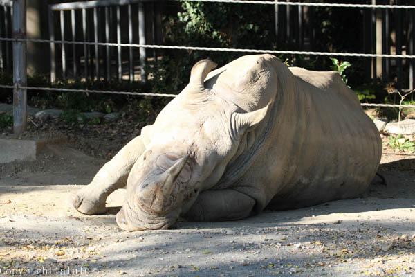 シロサイ 動物園