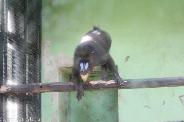 マンドリル 動物写真