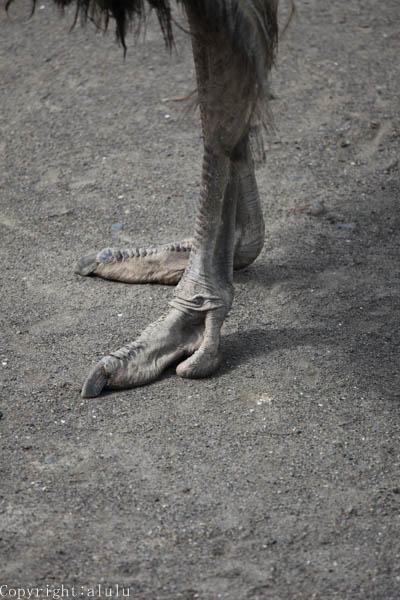 ダチョウ 脚