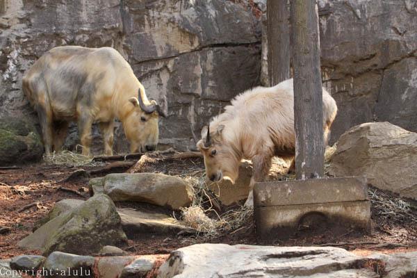 動物写真 ゴールデンターキー