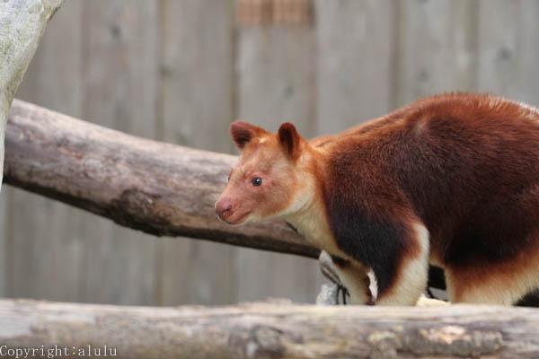 セスジキノボリカンガルー 動物写真