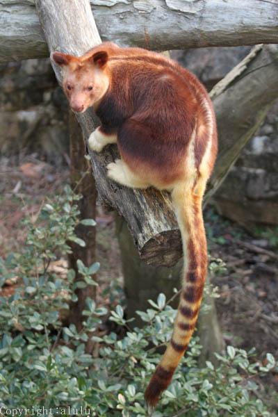 セスジキノボリカンガルー 動物園