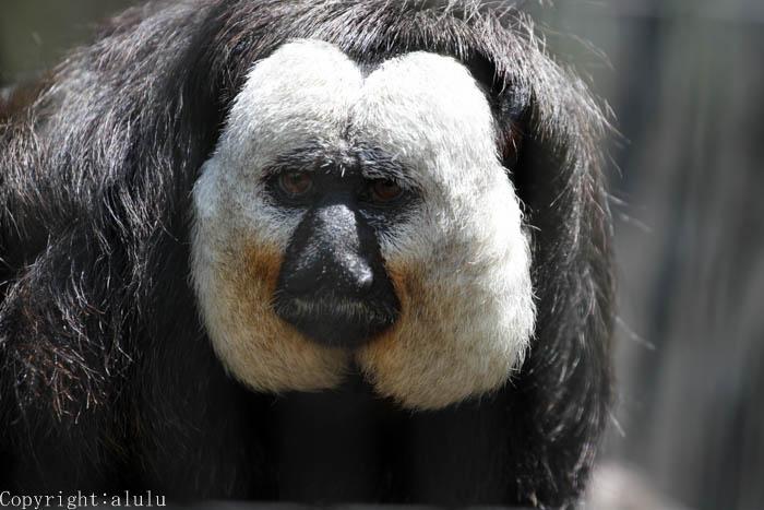 シロガオサキ 日本平動物園