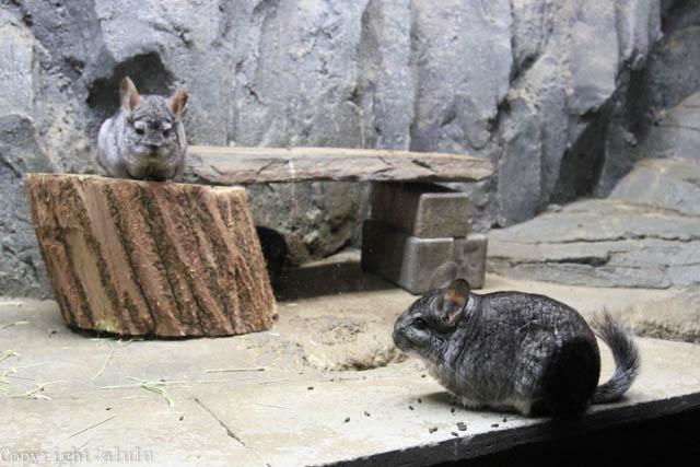チンチラ 東山動物園 夜行性動物 明るい