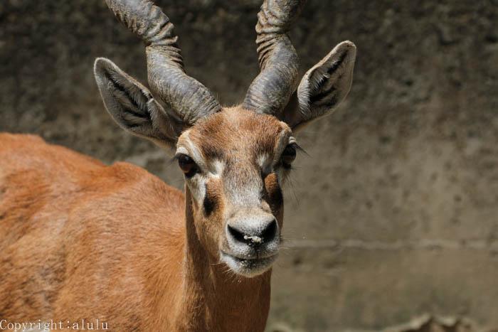 ブラックバック 宇都宮動物園