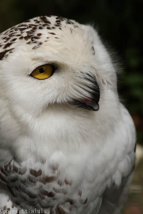 シロフクロウ 姫路市立動物園