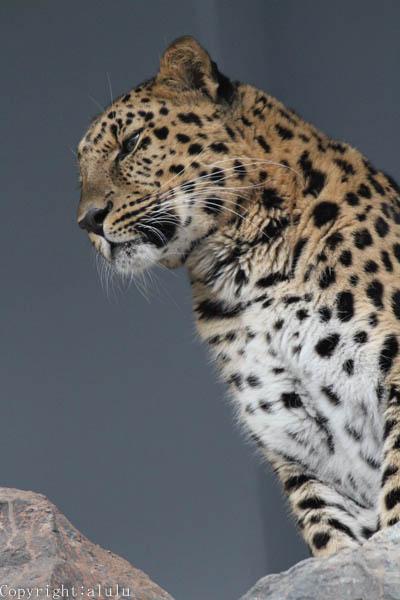 アムールヒョウ 動物写真