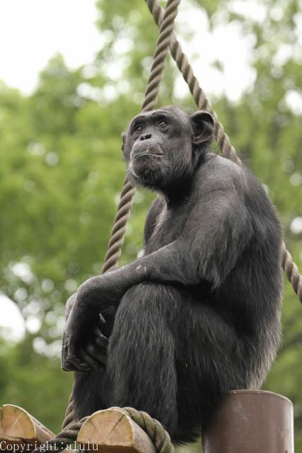 東山動植物園 チンパンジー