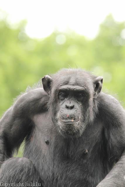 東山動物園 チンパンジー