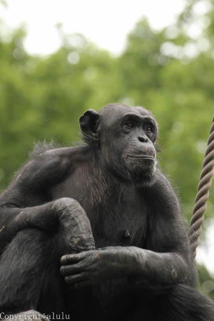 チンパンジー 画像