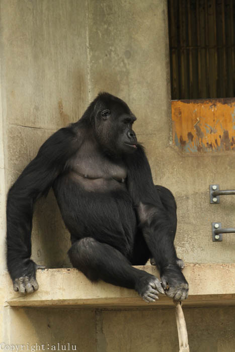 東山動物園 ニシローランドゴリラ