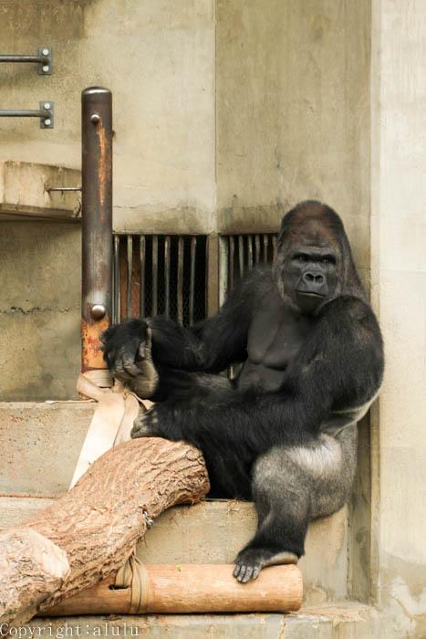 東山動物園 ゴリラ