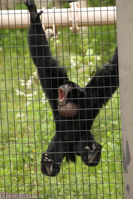 東山動物園 フクロテナガザル