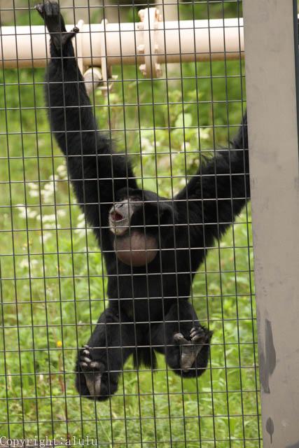 東山動物園 叫ぶ サル