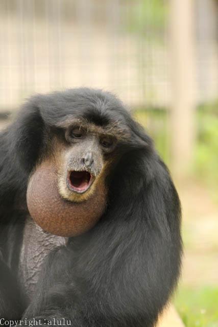 フクロテナガザル 東山動物園