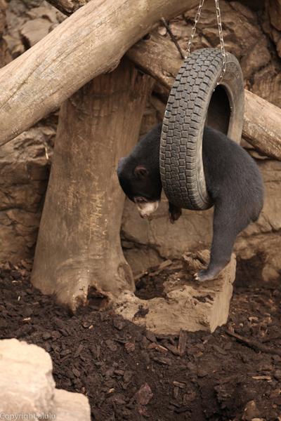 マレーグマ 上野動物園