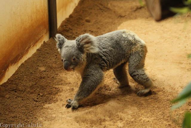 コアラ 歩く 動物園