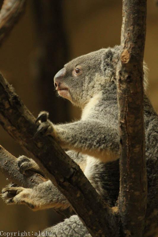 コアラ 歩いている 動物園